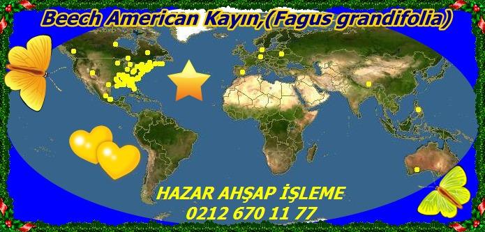20mBeech American Kayın,(Fagus grandifolia)