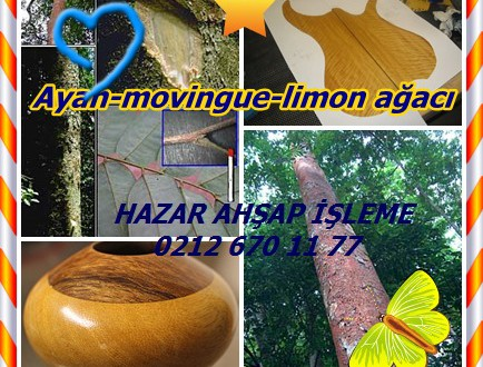 Ayan-movingue-limon ağacı,(Distemonanthus benthamianus),Nijeryalı SATINWOOD Ayanran, Barre, Bonsamdua, Eyen,