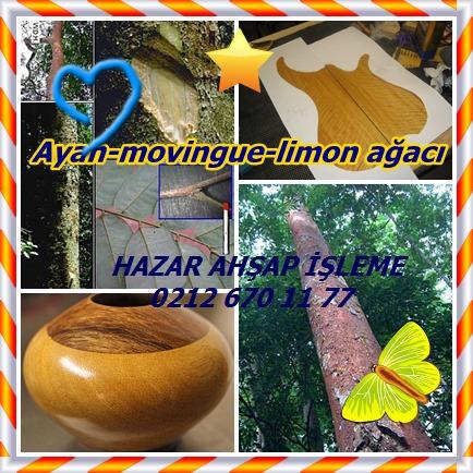 catsAyan-movingue-limon ağacıtt