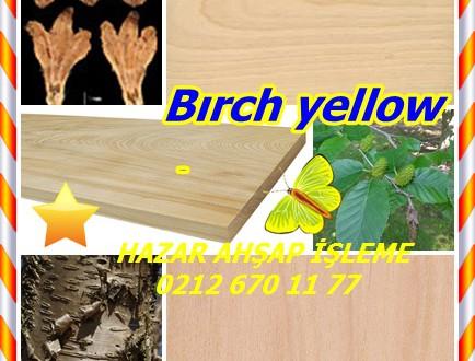 Bırch yellow, Sarı Huş, (Betula alleghaniensis), Bataklık Birch,Keltakoivu