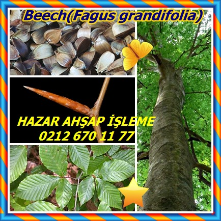 catsBeech(Fagus grandifolia)5