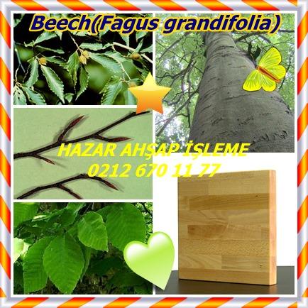 catsBeech(Fagus grandifolia)7
