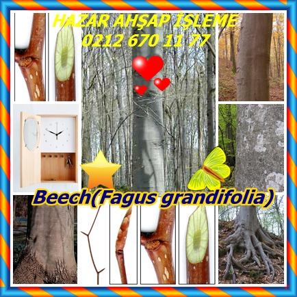 catsBeech(Fagus grandifolia)8