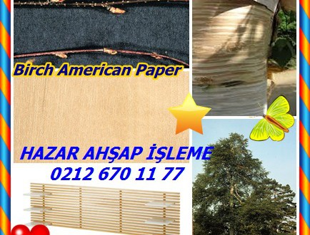 Birch American Paper Huş,Kağıt Birch, (Betula papyrifera),kano huş, bouleau blanc, bouleau à papier, gümüş huş