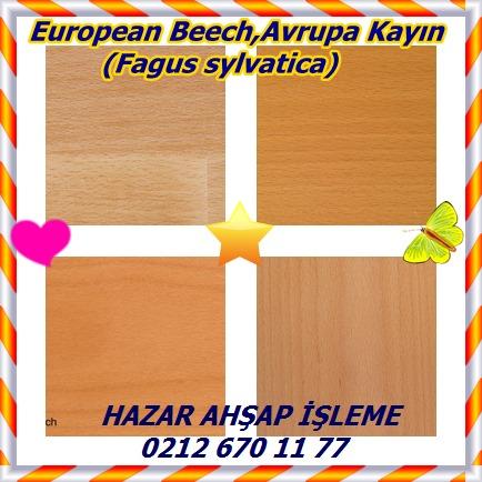 catsEuropean Beech,Avrupa Kayın (Fagus sylvatica)