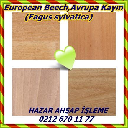 catsEuropean Beech,Avrupa Kayın (Fagus sylvatica)p