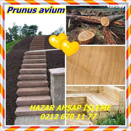 catsPrunus avium22