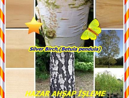 Bırch Avrupa Huş,Silver Birch,(Betula pendula),gümüş huş ,yatak wen