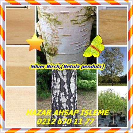 catsSilver Birch,(Betula pendula)33