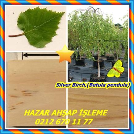 catsSilver Birch,(Betula pendula)4443
