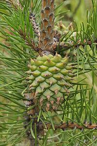 200px-Pinus-pungens-04