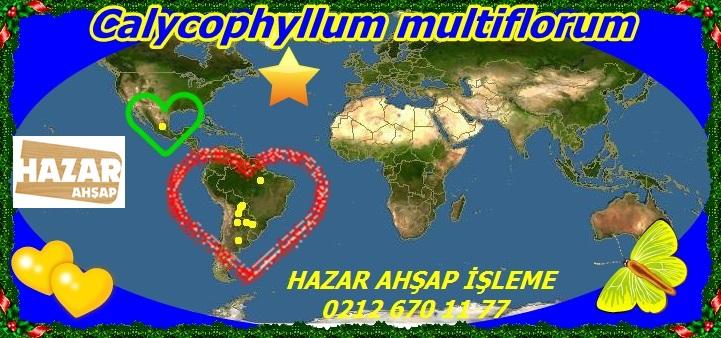 20m Calycophyllum multiflorum77