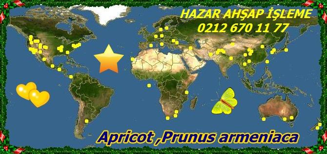 20mApricot ,Prunus armeniaca 11 - Kopya