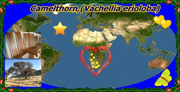 20mCamelthorn,(Vachellia erioloba)