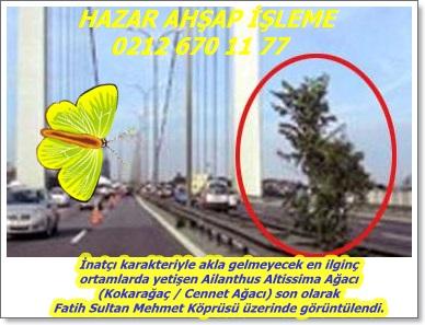 Ailanthus,(Ailanthus altissima), Cennet Ağacı, Çin Sumak