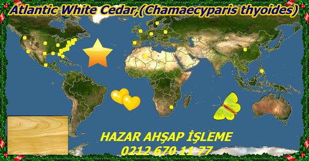 Atlantic White Cedar,(Chamaecyparis thyoides)1