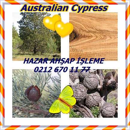 Australian Cypressjj