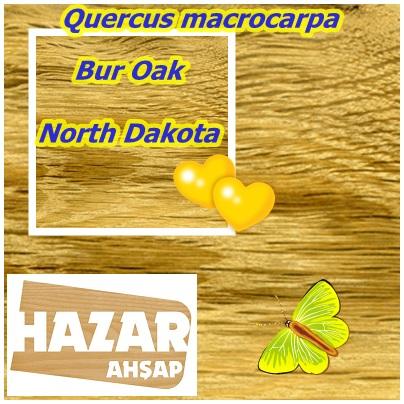 Bur Oak,