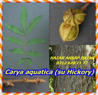 Carya-aquatica-collage-300x290