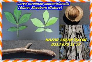 Carya-carolinae-septentrionalis-Southern-Shagbark-Hickory-300x198