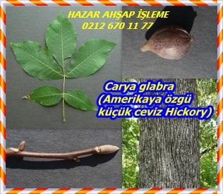 Carya-glabra-Pignut-Hickory-300x259