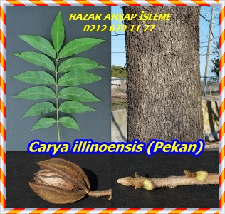 Carya-illinoensis-collage-300x284