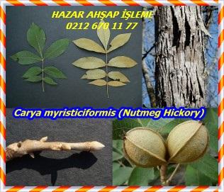 Carya-myristiciformis-Nutmeg-Hickory-300x255