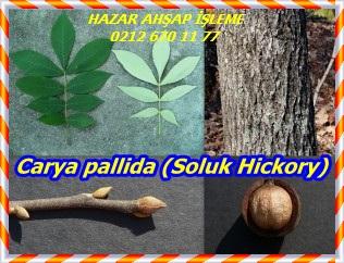 Carya-pallida-Pale-Hickory-300x226