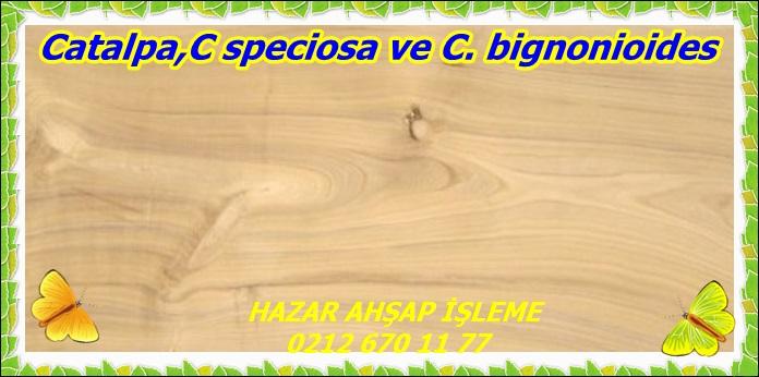 CatalpaC speciosa ve C. bignonioides