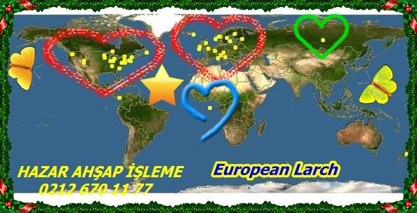 European Larch