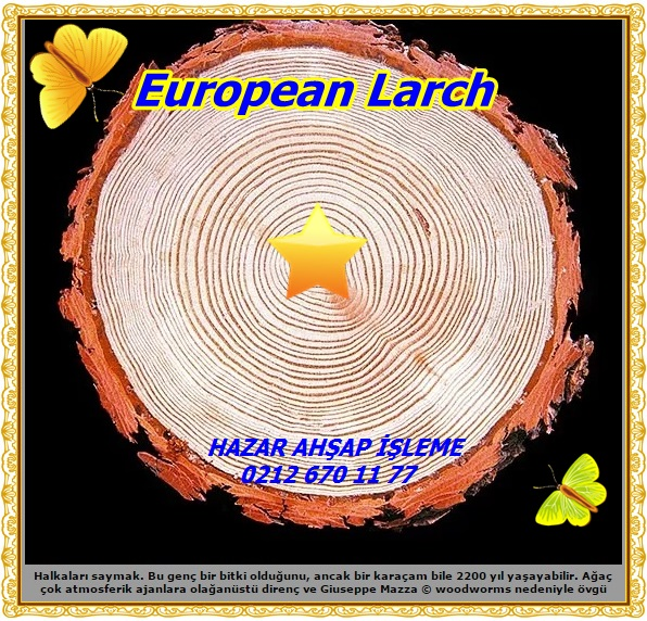 European Larch22
