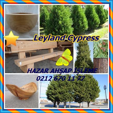 Leyland Cypresso