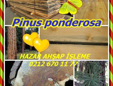 Pinus ponderosa,Kızılçam çam,Sarı, batı sarı, boğa, siyah Jack, batı kırmızı, batı zift, büyük, ağır, Sierra brownbark, batı pino pinabete, pim à bois lourd
