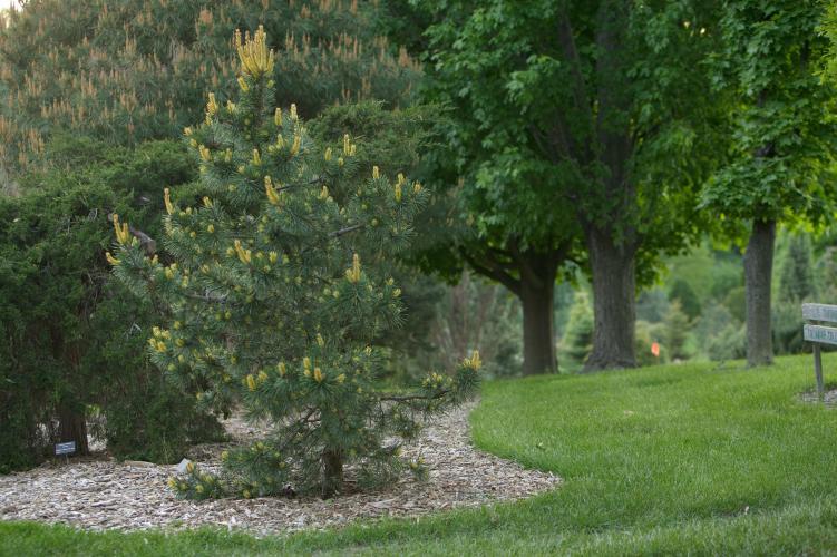 Pinus_contorta_Taylors_Sunburst_1_E.Wiegand_800