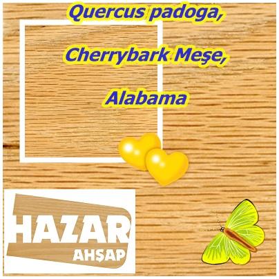 Quercus padoga,