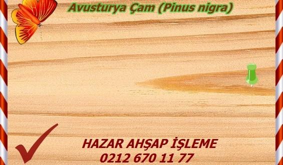 austrian-pine