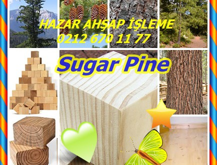 Sugar Pine,Pinus lambertiana,
