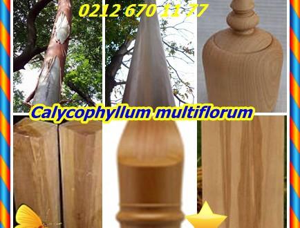 Castelo Boxwood,Palo Blanco Castelo Şimşir,(Calycophyllum multiflorum), Ivorywood,