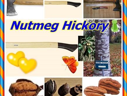 Nutmeg Hickory,Küçük hindistan cevizi Hickory, Carya myristiciformis