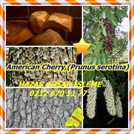 catsAmerican Cherry,(Prunus serotina)434343