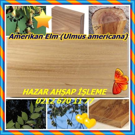 catsAmerikan Elm (Ulmus americana)11