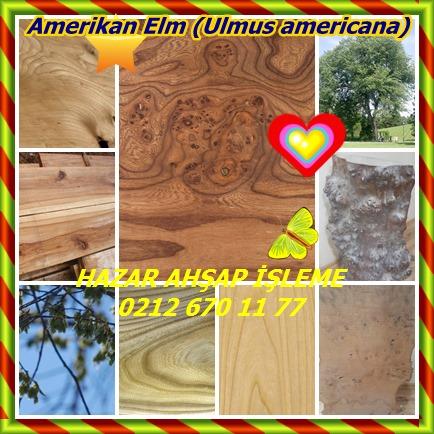 catsAmerikan Elm (Ulmus americana)33