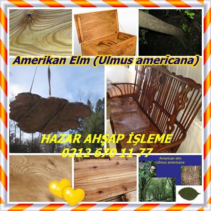 catsAmerikan Elm (Ulmus americana)58