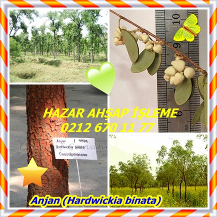 catsAnjan (Hardwickia binata)8776