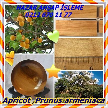catsApricot ,Prunus armeniaca 6565