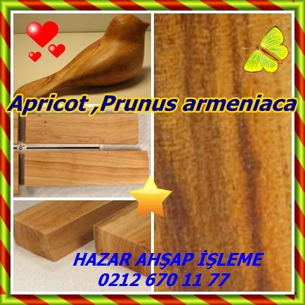 catsApricot ,Prunus armeniaca 87 - Kopya