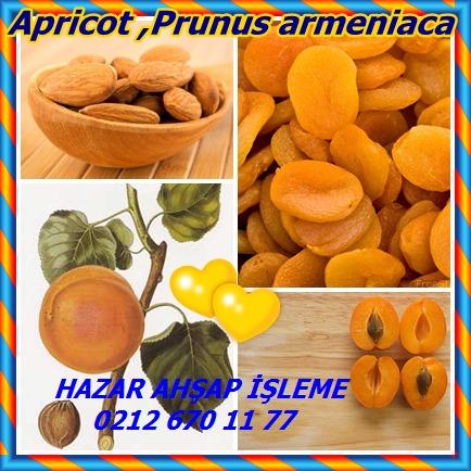 catsApricot ,Prunus armeniaca 89