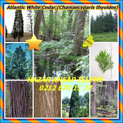 catsAtlantic White Cedar,(Chamaecyparis thyoides)54