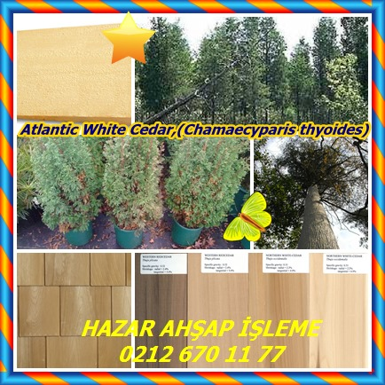 catsAtlantic White Cedar,(Chamaecyparis thyoides)6585