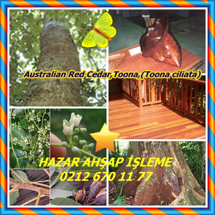 catsAustralian Red Cedar,Toona,(Toona ciliata)33